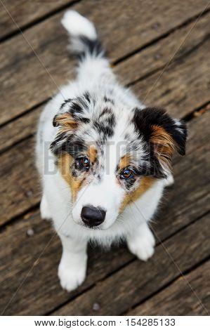 Cute Australian shepperd little blue merle puppy look
