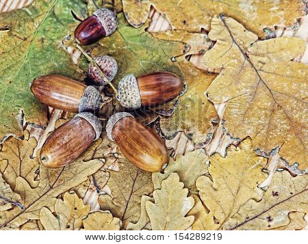 Acorns and oak leaves as nature background.Toned image.