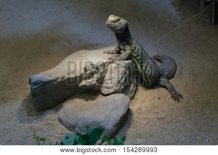 North African mastigure (Uromastyx acanthinura), also known as the Bell's dabb lizard. Wildlife animal.