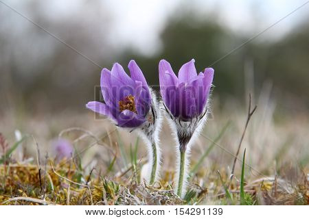 Purple pasque flowers in springtime / Hairy fuzzy pasque-flowers in soft purple pastel colors in springtime