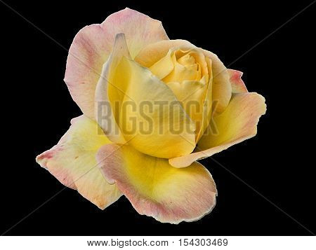 Beautiful yellow rose on a white background.