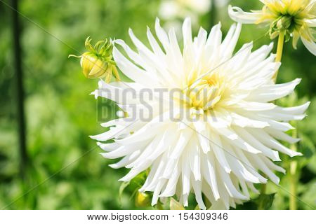 Macro of a white dahlia - cultivar My Mom