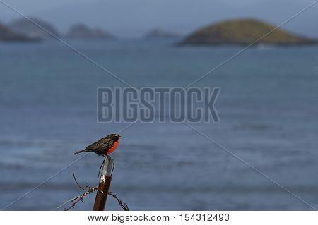 Long-tailed Meadowlark (Sturnella loyca falklandica) on the coast of Carcass Island in the Falkland Islands.