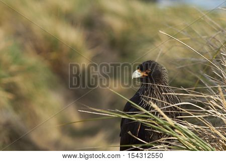 Striated Caracara (Phalcoboenus australis) standing amongst tussock grass on Carcass Island in the Falkland Islands.