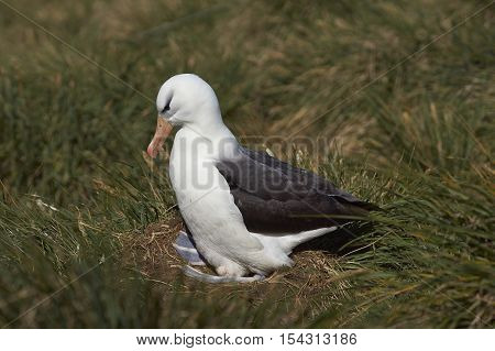 Black-browed Albatross (Thalassarche melanophrys) adjusts its egg whilst sitting on a nest on the cliffs of West Point Island in the Falkland Islands.