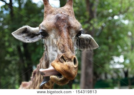 Giraffe with a long neck Thailand Southeast Asia