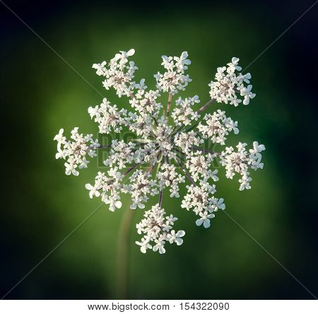 Queen Anne s lace Wild Carrot Daucus carota closeup of flowering umbel.