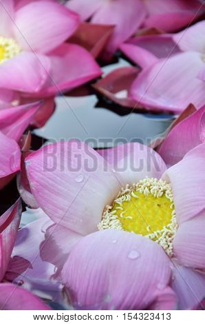 Blossom pink lotus flowers in water pond