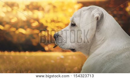 portrait of young labrador retriever dog puppy in autumn