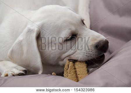 young labrador retriever dog puppy is eating a cake