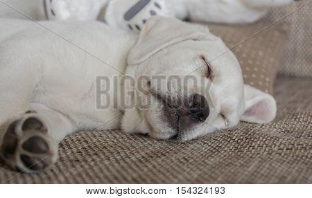 little small labrador retriever dog puppy is lloking cute while sleeping