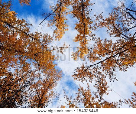 Orange Autumn Fall Trees Against a Blue Sky