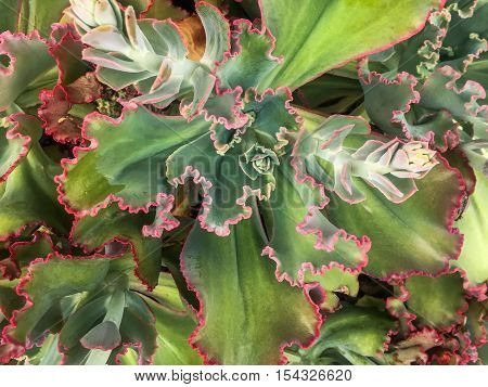 large succulent in full bloom at the U.S. botanic Garden