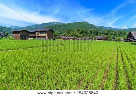Paddy field in Shirakawa-go village, Takayama, Japan