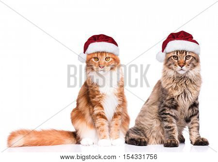 Portrait of Maine Coon kittens in red Christmas Santa hat. Funny cute cats dressed as Santa Claus looking at camera. Christmas kitty isolated on white background.