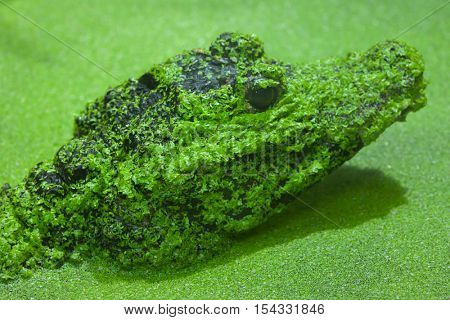 Dwarf crocodile (Osteolaemus tetraspis), also known as the African dwarf crocodile. Wildlife animal.