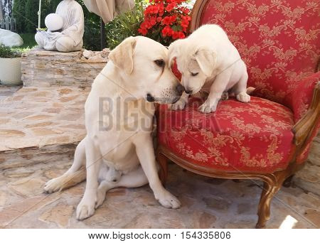 Cute Labrador dog inside a house and his cub sitting on a red chair having a moment of tenderness