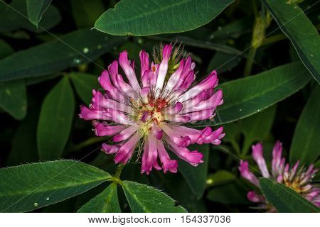 Pink clover flower grows on a green meadow