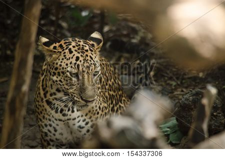 Leopard Live In The Cage