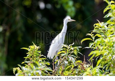 The cattle egret is a cosmopolitan species of heron found in the tropics, subtropics and warm temperate zones. Two subspecies, the western cattle egret and the eastern cattle egret.