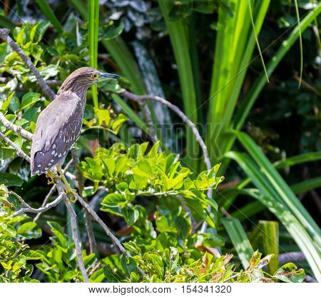 The night herons are medium-sized herons.Refers to the largely nocturnal feeding habits of this group of birds, and the croaking crow-like call of the best known species, the black-crowned night heron