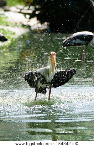 Lesser adjutant stork in its habitat zoo Thailand