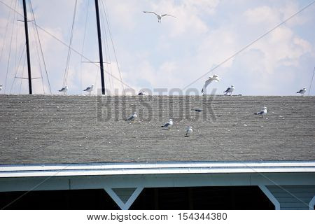 Ring-billed gulls (Larus delawarensis) alight on the roof of the Walstrom Marine boathouse, near the Zorn Park Public Beach, in Harbor Springs, Michigan during August.
