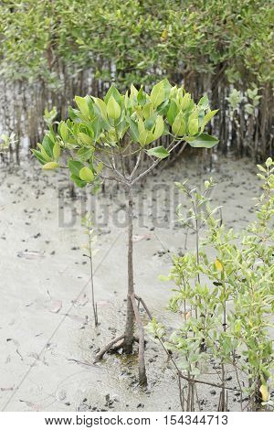 Green mangrove tree in the mangrove forest near the coast in Thailand.