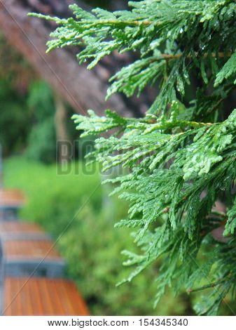 Moist pine leaf after rainy over blurred background