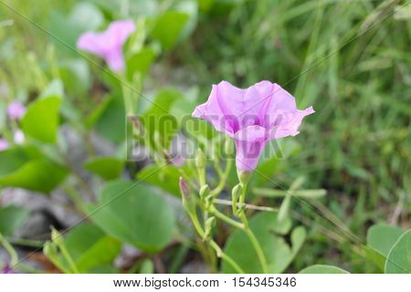 Blooming Ipomoea flower or Beach morning glory near the coast in Thailand.