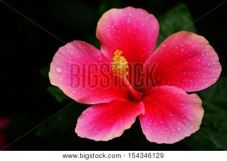 Isolate moist red chinese rose over black background