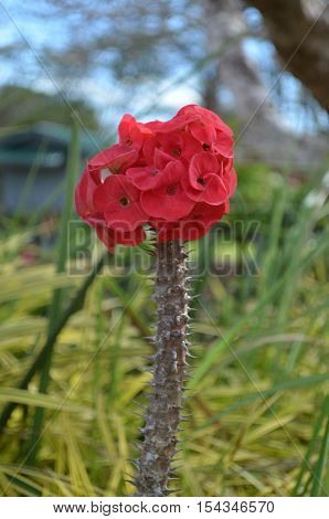 Red crown of thorn flower in the garden