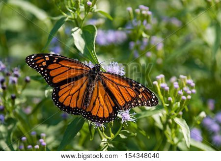 Male Monarch butterfly (Danaus plexippus) feeding on Greggs Mistflowers (Conoclinium greggii) in the fall