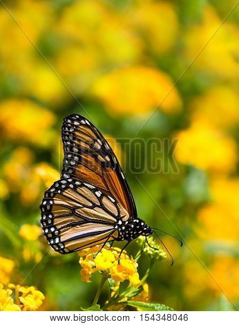 Monarch butterfly (Danaus plexippus) feeding on yellow Lantana flowers in the fall