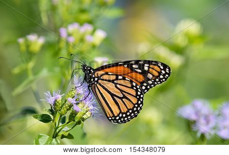 Monarch butterfly (Danaus plexippus) feeding on Greggs Mistflowers (Conoclinium greggii) in the fall