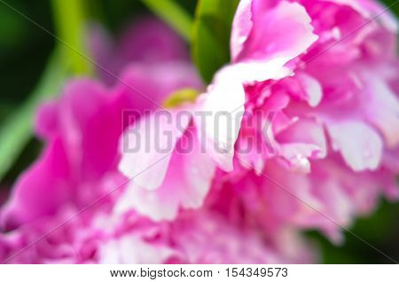 beautiful bright pink peonies are a very close, romantic and soft for girls as substrate and background