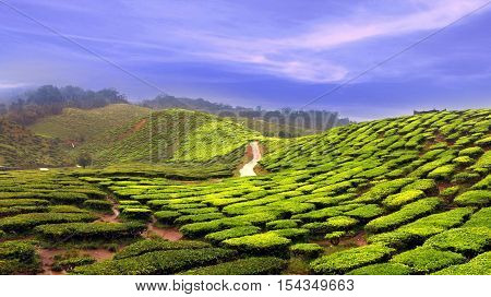 Tea farm plantation in panoramic view in day light