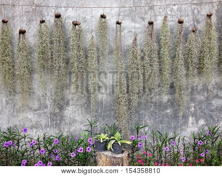 Spanish Moss hanging for decoration and Ruellia tuberosa flower with stucco wall background, Spanish Moss and Ruellia Tuberosa flower with cement wall background