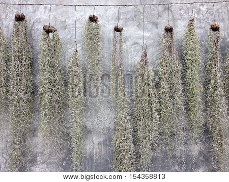 Spanish Moss hanging for decoration with stucco wall background, Spanish Moss with cement wall background