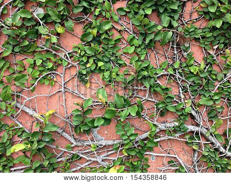 Background of Velcro green plant climbing on red wall, Coatbutton on red wall, Red wall covered with Velcro green texture background