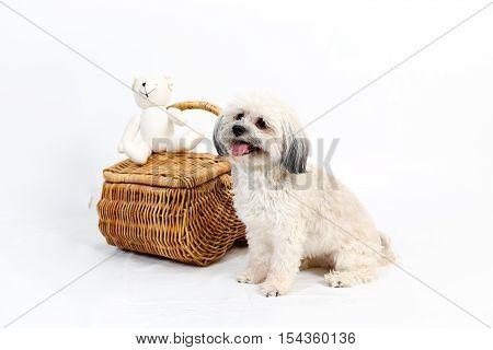 Fluffy white Havanese dog sitting beside wicker picnic basket on white background