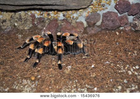 Giant Orange Tarantula