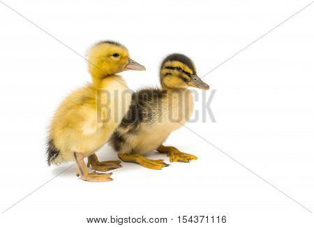 small bird geese isolated on white background