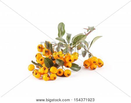 Pyracantha Isolated On White Background