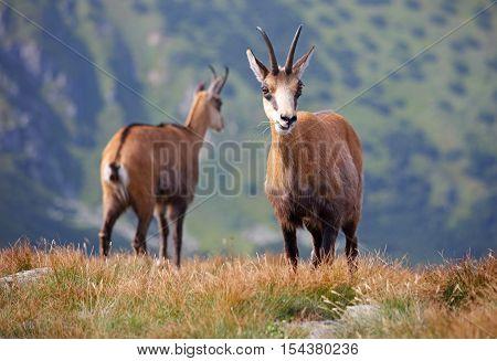 Family Tatra chamois in their natural habitat - Low Tatras National Park - Slovak Republic.