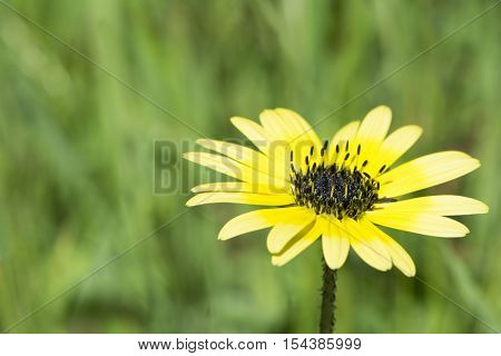 Arctotheca calendula a yellow daisy like flower commonly known as cape weed. Also known as cape dandelion cape marigold plain treasure and capeweed. A common weed in South Australia