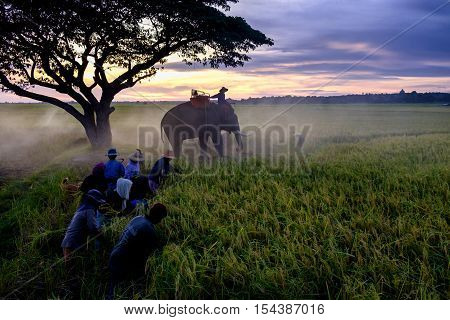 SURIN THAILAND - CIRCA OCTOBER 2016 : Thai people working in a rice field at sunrise. In Thailand the economy is dominated by agriculture.
