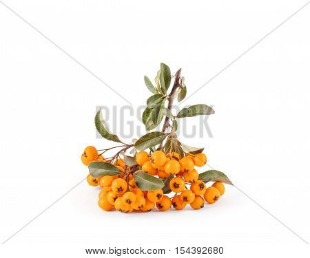 Pyracantha isolated on white background. Nature objects