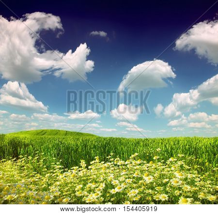 Summer wildflowers and green wheat