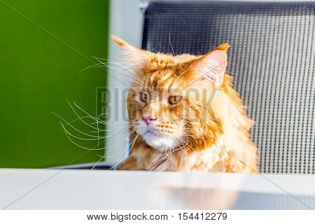 Cat Maine Coon sitting in the Office like a Boss